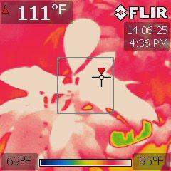 Garcinia xanthochymus under a 1000W HPS at 84 °F