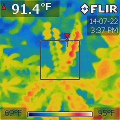 Averrhoa carambola under a 1000W MH at 75 °F