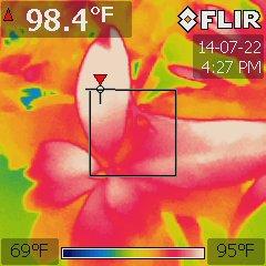 Garcinia xanthochymus under a 1000W MH at 84 °F