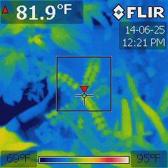 Averrhoa carambola under a Platinum XL-U at 75 °F