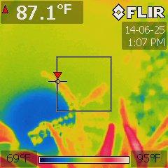 Averrhoa carambola under a Platinum XL-U at 84 °F